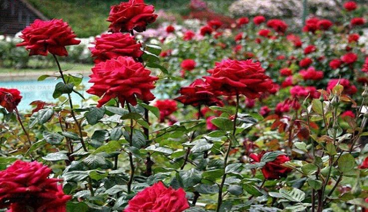 Nehru Rose Garden Famous Tourist Place in Ludhiana