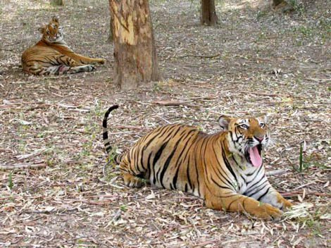 Tiger Safari Ludhiana Places to Visit